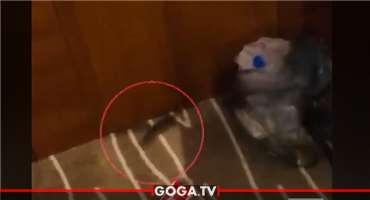 თაგვი საკარანტინე სივრცეში - ვიდეოს სოციალურ ქსელში ნინო ბარათაშვილი ავრცელებს